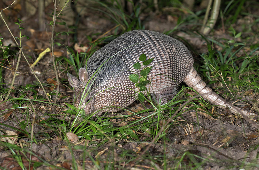 Adult Photograph - Nine-banded Armadillo Foraging At Night by Ivan Kuzmin