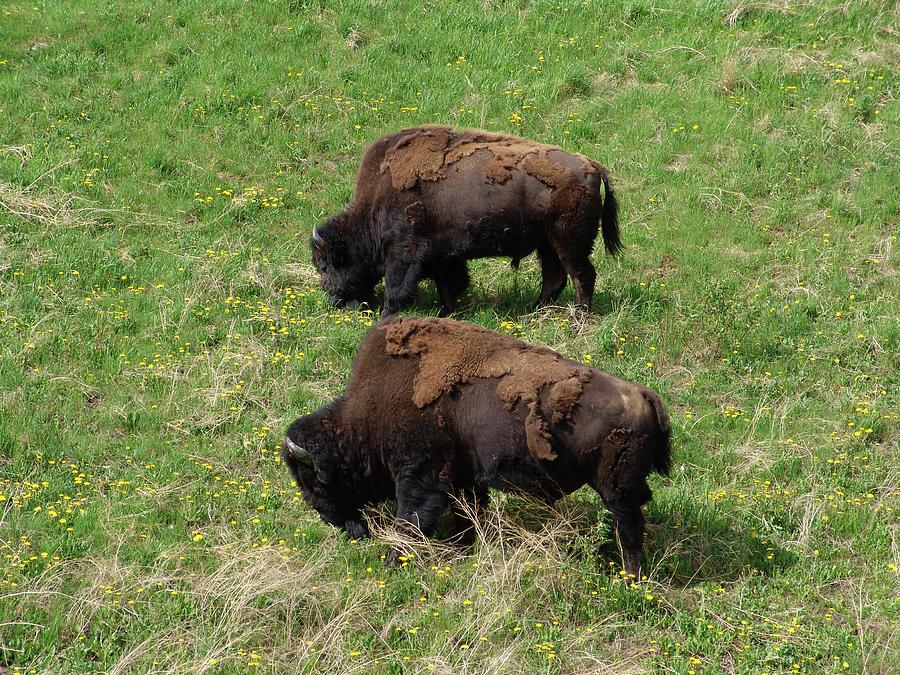 North American Alaska Wood Bison by Robert Braley