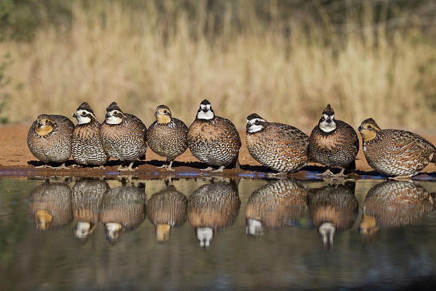 Northern Bobwhite Colinus Virginianus Photograph by Danita Delimont