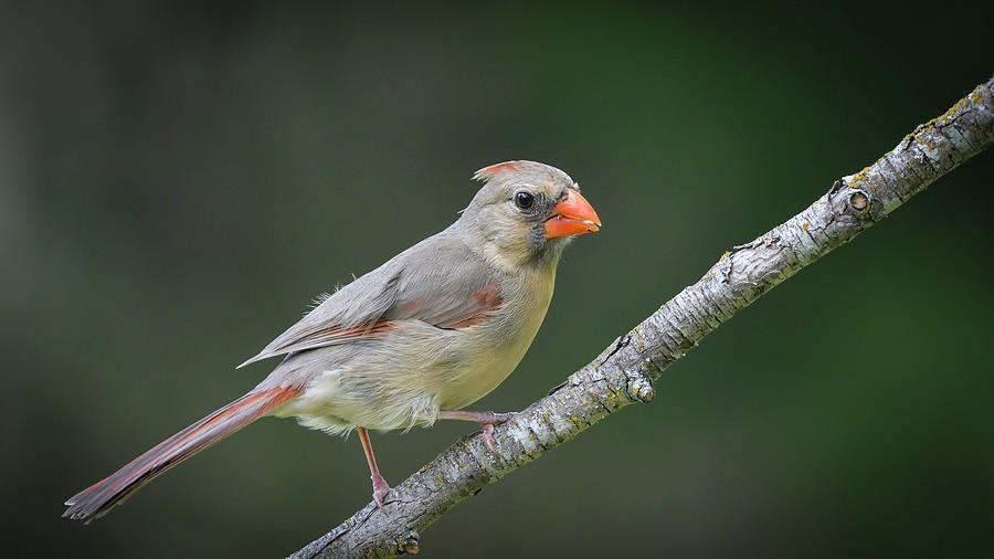 Northern Cardinal out on a limb by Philip Duff