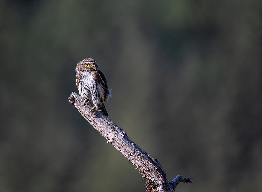 Northern Pygmy Owl by Randy Hall
