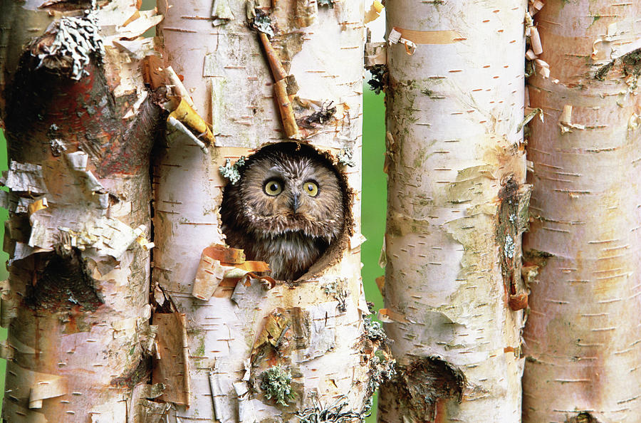 Northern Saw-whet Owl Aegolius Acadicus Photograph by Art Wolfe