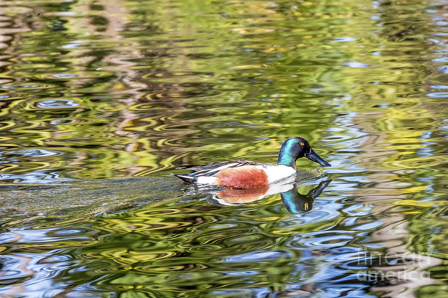 Northern Shoveler by Kate Brown