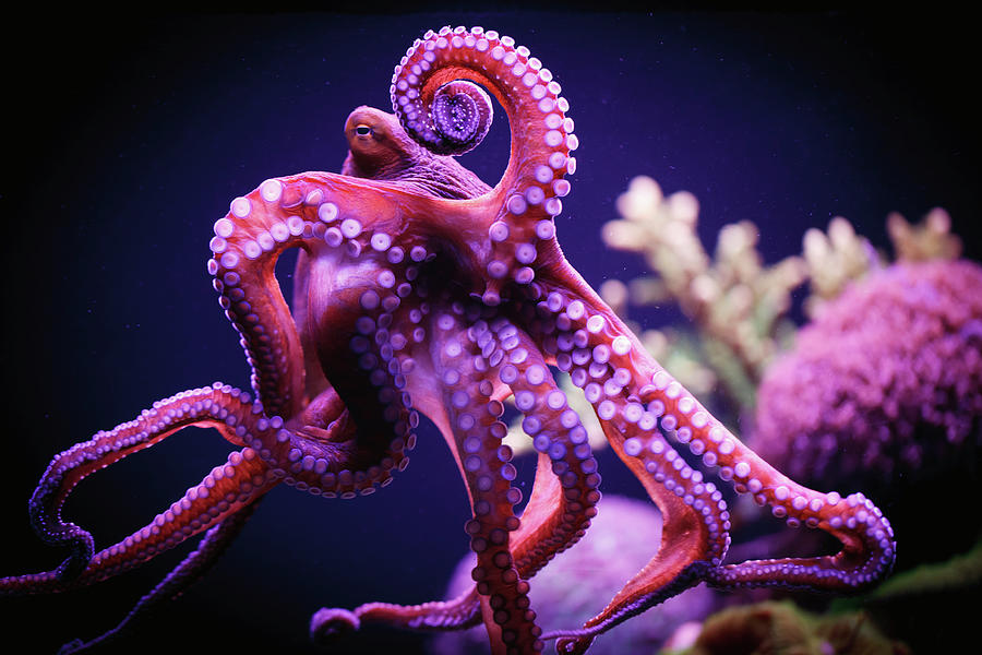 Octopus Photograph by Reynold Mainse / Design Pics