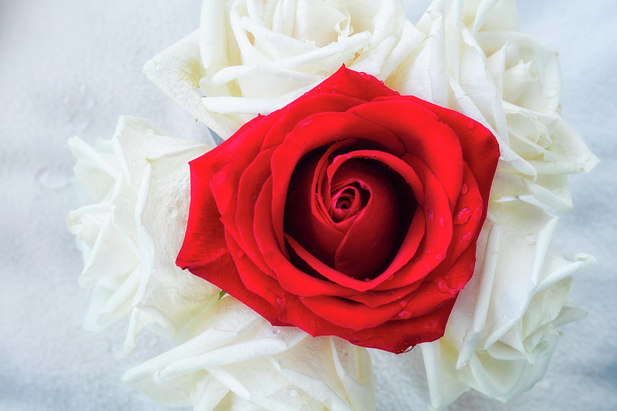 One Red Rose by Jade Moon