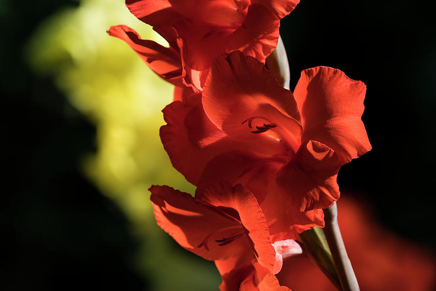 Orange Gladiolus by Robert Potts