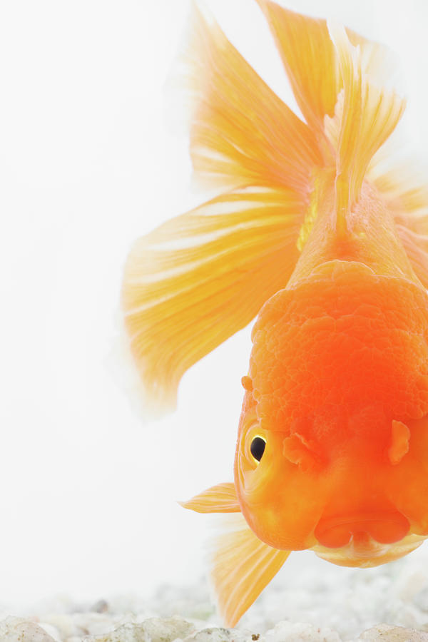 Orange Lionhead Goldfish Photograph by Martin Harvey