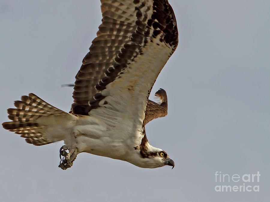 Osprey Photograph - Osprey by Blair Howell