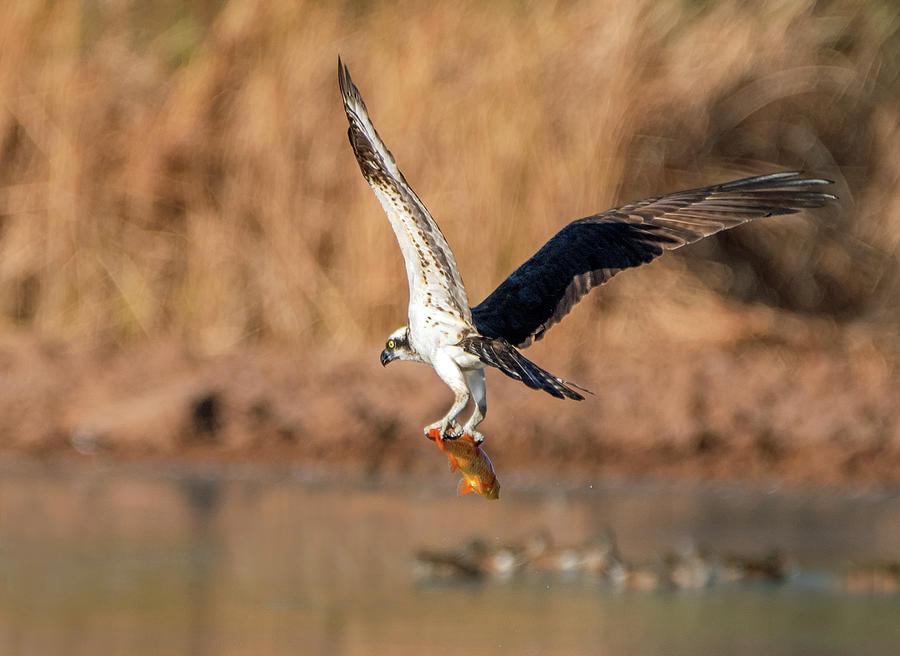 Osprey with Fish 6528-091919 by Tam Ryan
