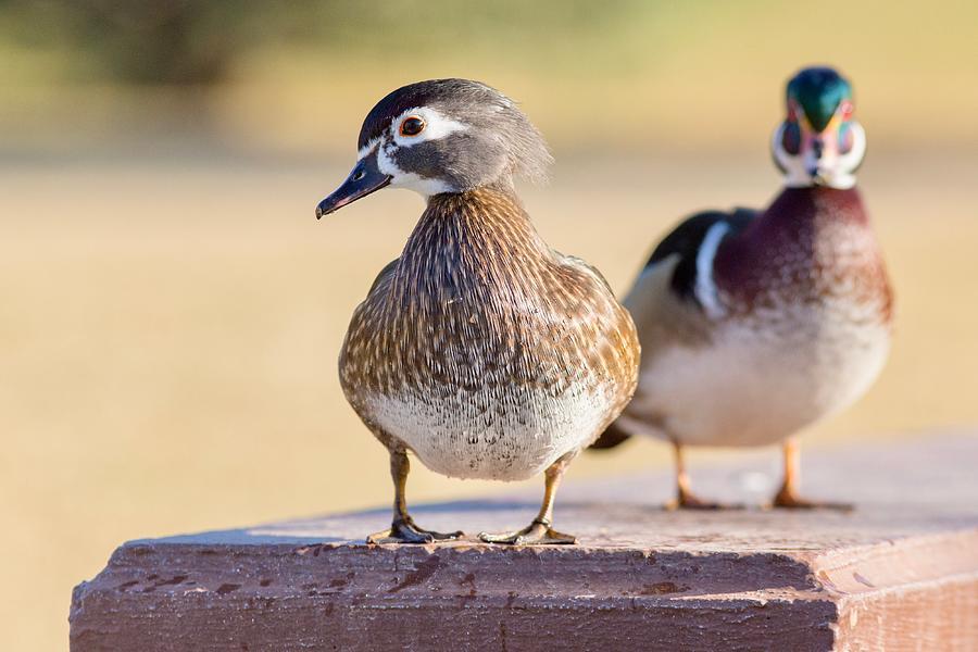 Wood Duck Photograph - Pair Of Wood Ducks by Lynn Hopwood