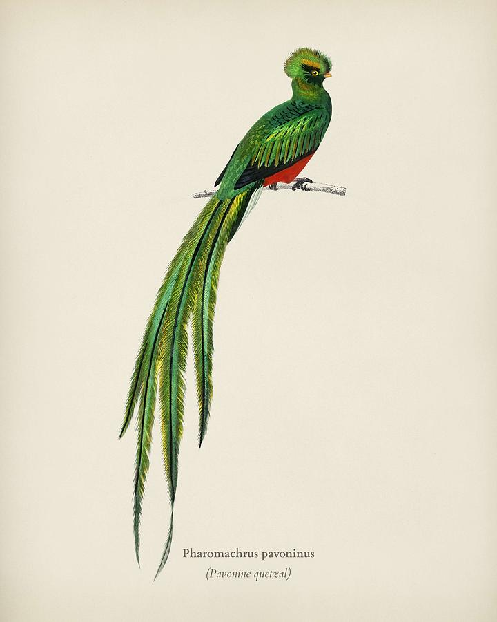 Pavonine quetzal  Pharomachrus pavoninus  illustrated by Charles Dessalines D Orbigny  1806 1876 2 by Celestial Images