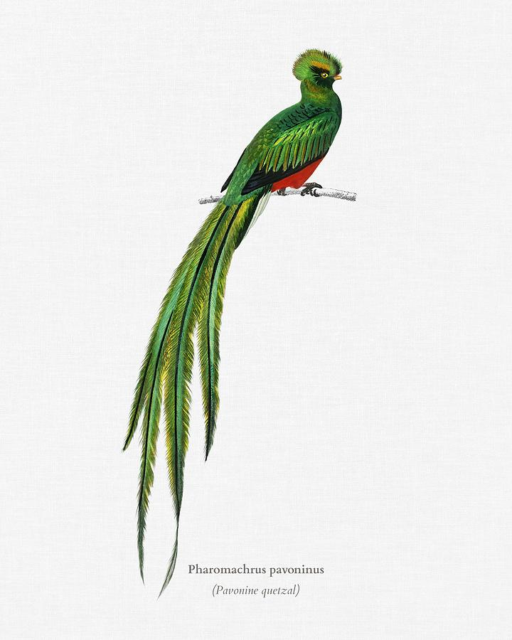 Birdwatching Painting - Pavonine Quetzal  Pharomachrus Pavoninus Illustrated By Charles Dessalines D Orbigny  1806 1876 3 by Celestial Images