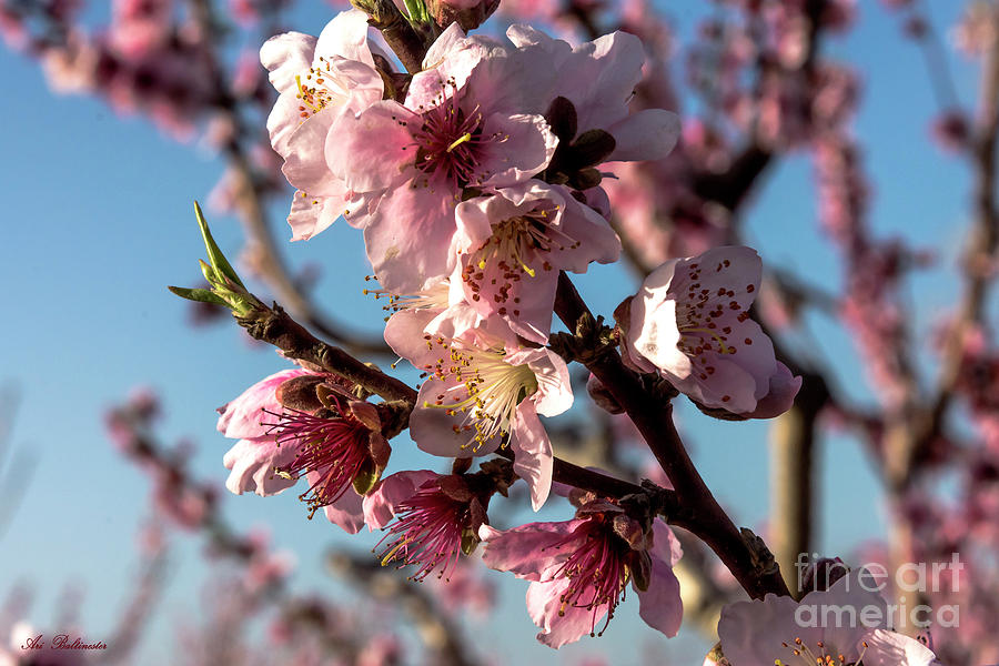 Peach blossom by Arik Baltinester