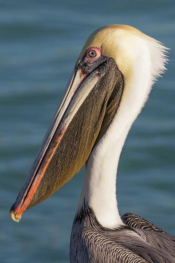 Pelican Close Up by Paul Schultz
