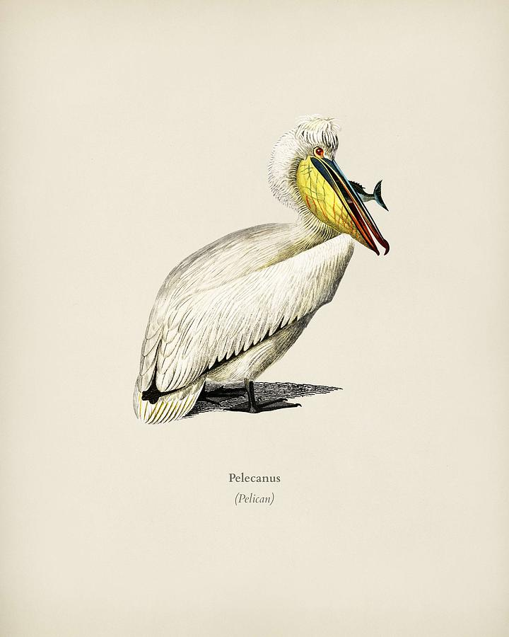 Pelican  Pelecanus illustrated by Charles Dessalines D Orbigny  1806 1876 2 by Celestial Images