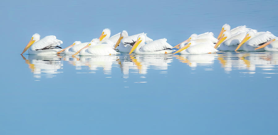 Pelican Reflections by Dan Sproul