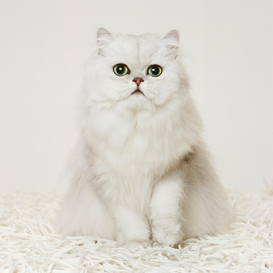 Persian Cat  Sitting On White Rug Photograph by Gk Hart/vikki Hart