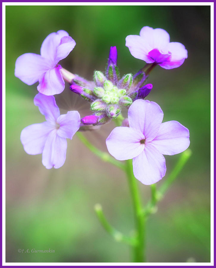 Phlox Flowers by A Gurmankin