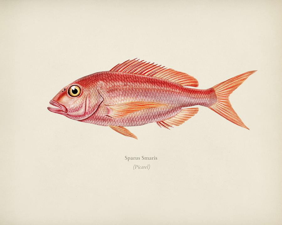 Picarel  Sparus Smaris  illustrated by Charles Dessalines D Orbigny  1806 1876   by Celestial Images
