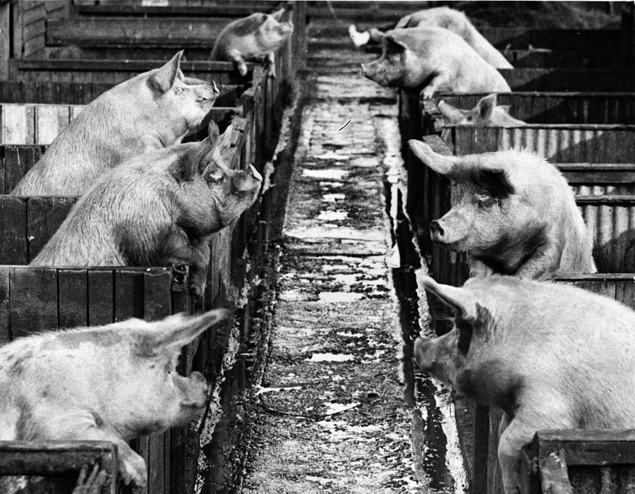 Pig Sty Gossip Photograph by Fox Photos