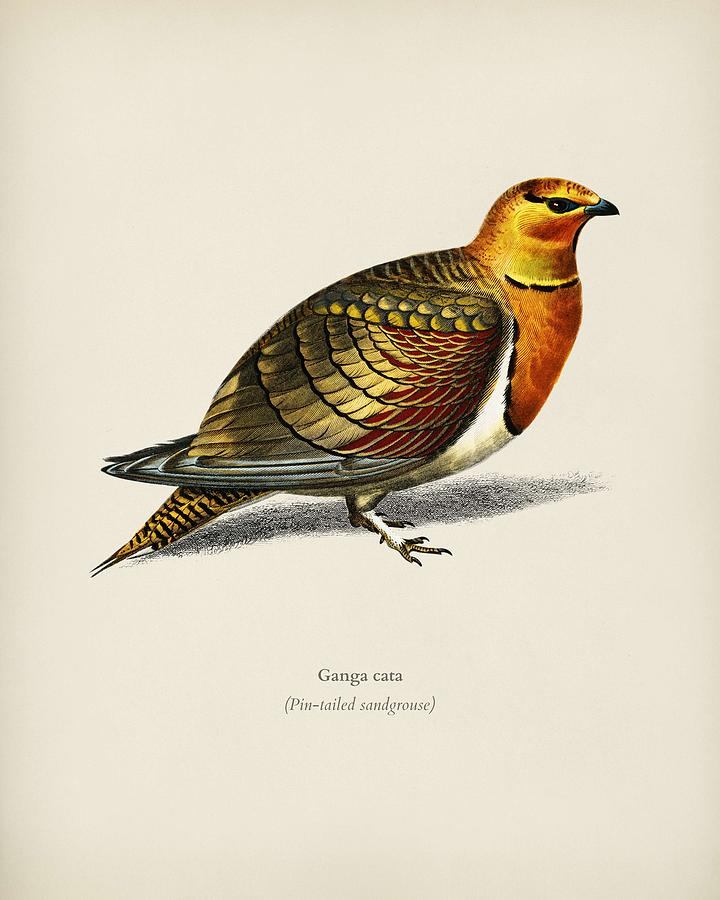Pin tailed sandgrouse  Ganga cata  illustrated by Charles Dessalines D Orbigny  1806 1876  2 by Celestial Images