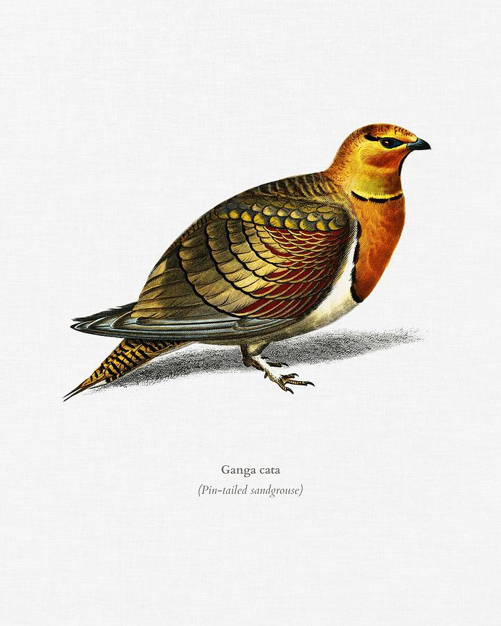 Pin tailed sandgrouse  Ganga cata  illustrated by Charles Dessalines D Orbigny  1806 1876 3 by Celestial Images