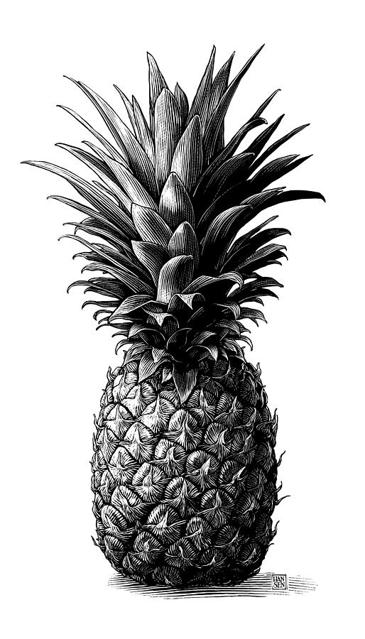 Scratchboard Drawing - Pineapple by Clint Hansen