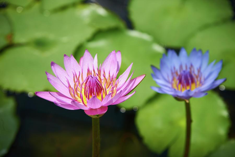 Pink Photograph - Pink Lotus Water Flower by Lukas Kerbs