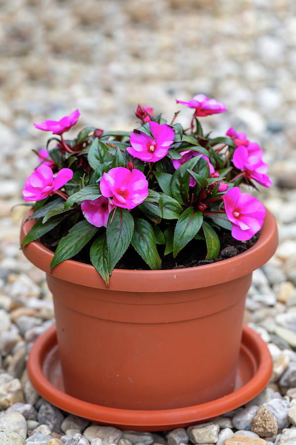 Pink New Guinea Impatiens Flowers In Pots Photograph By Artush Foto