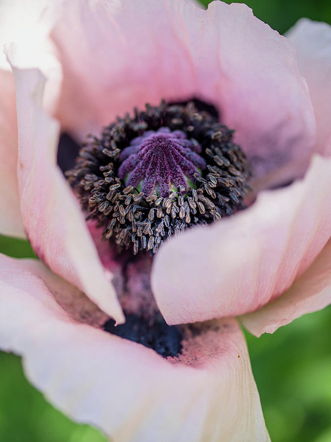 Pink Poppy Center by Rebecca Cozart