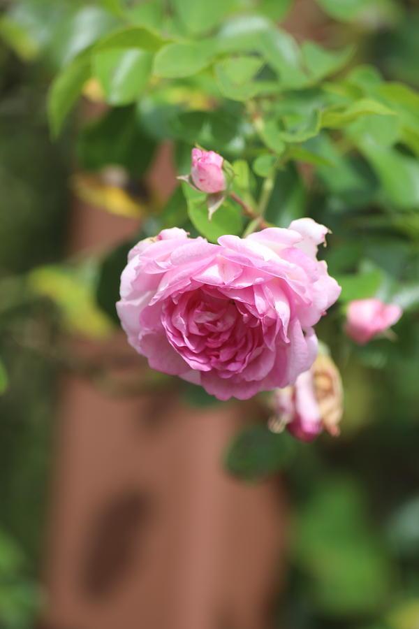 Pink Rose Photograph by Scott Burd