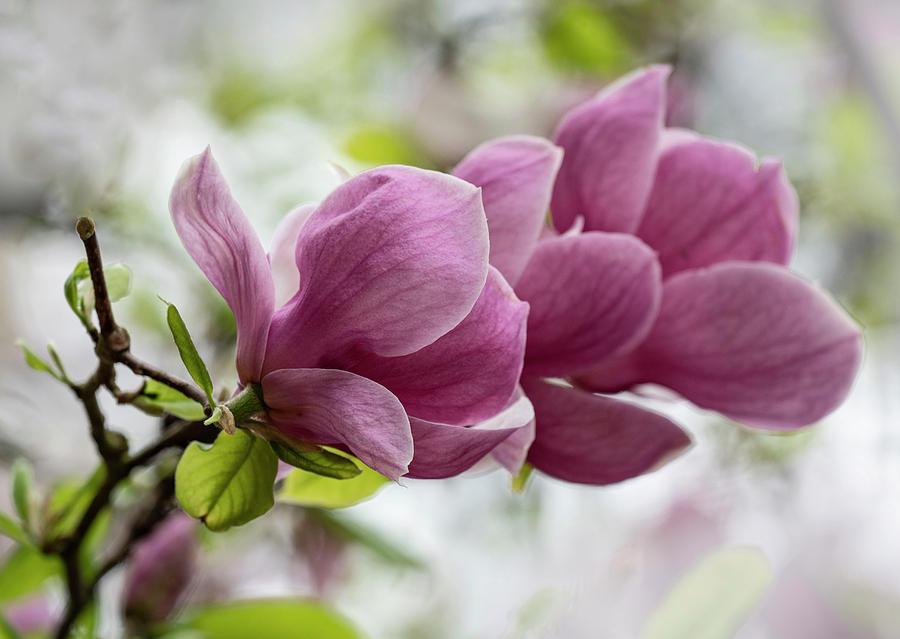 Pink Soulange Magnolia by Jaroslaw Blaminsky