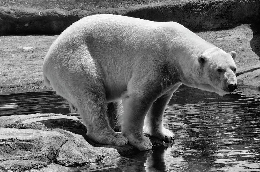 polar bear by Chris Flees