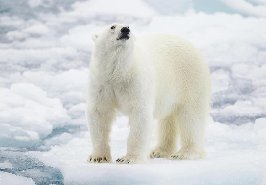 Polar Bear Photograph by Kencanning