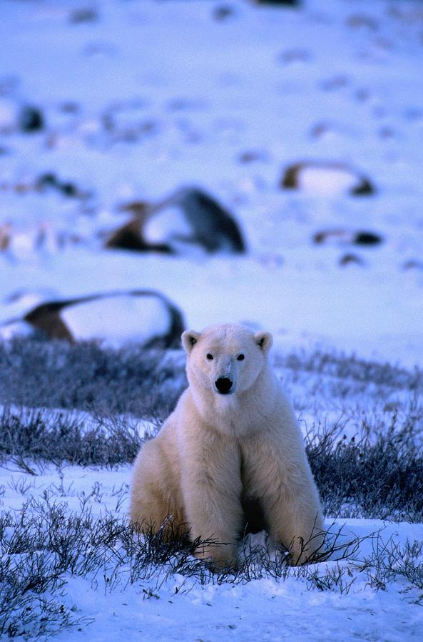 Polar Bear Ursus Maritimus Photograph by Mark Newman