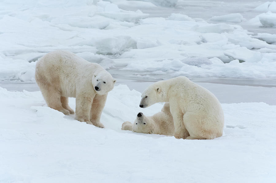 Bear Cub Photograph - Polar Bears In The Wild. A Powerful by Mint Images - David Schultz