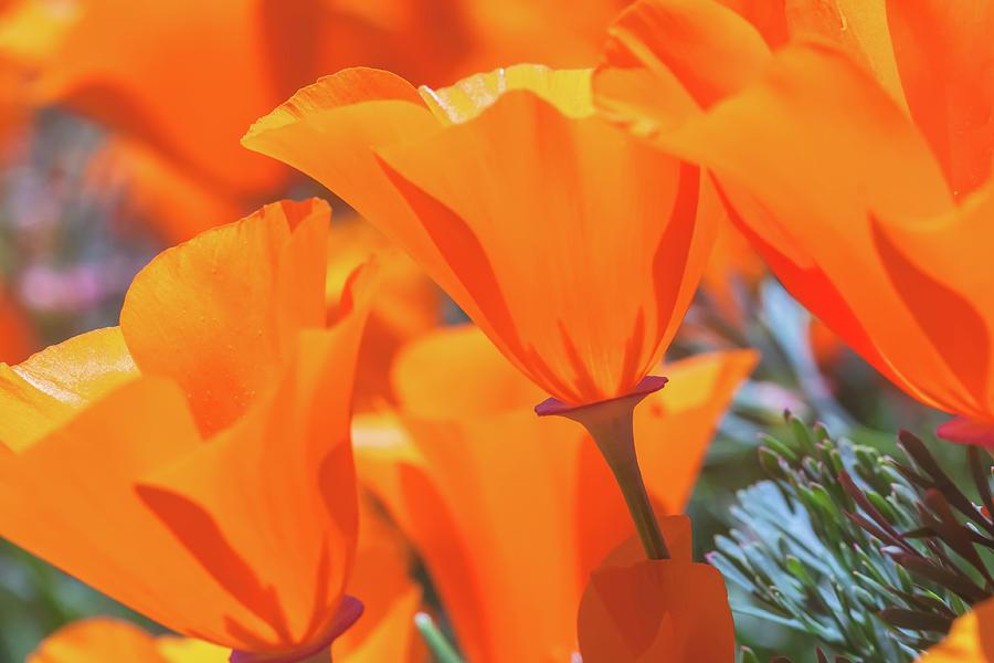poppies by Jonathan Nguyen