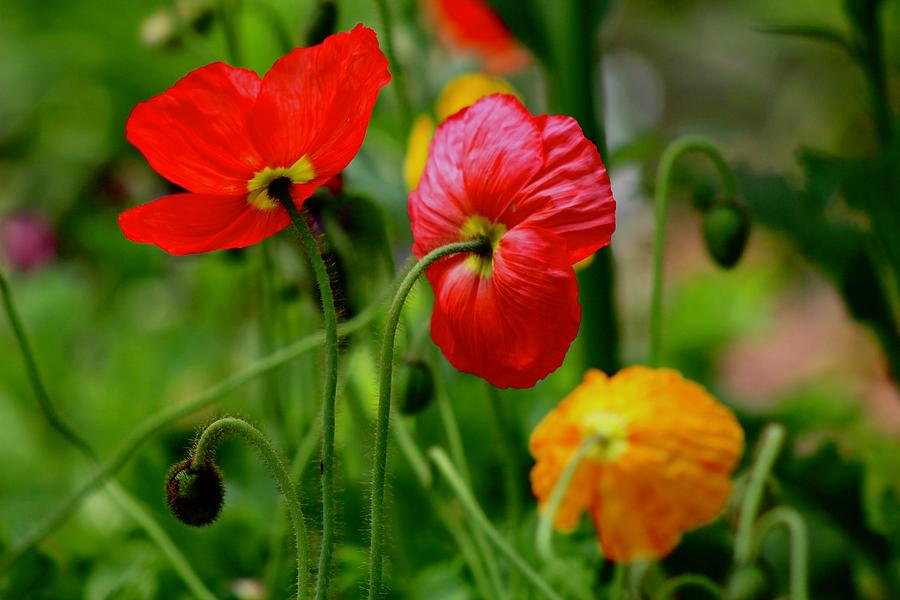 Poppies by Kevin Wheeler