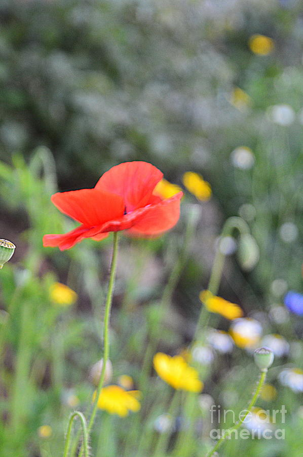 Poppy Photograph - Poppy by Andy Thompson