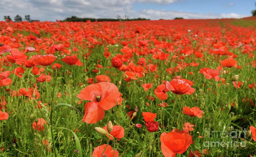 Poppy field by Colin Rayner