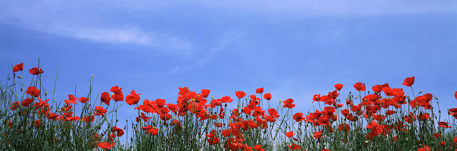 Horizontal Photograph - Poppy Field In Bloom, Tuscany, Italy by Panoramic Images