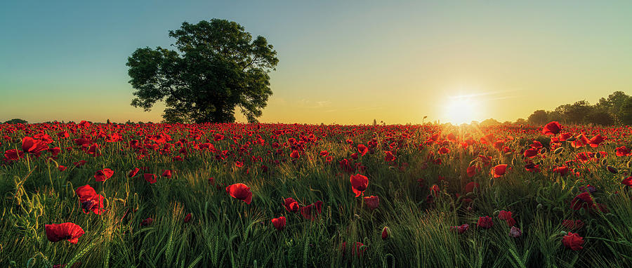 Poppy field sunrise 5 by James Billings