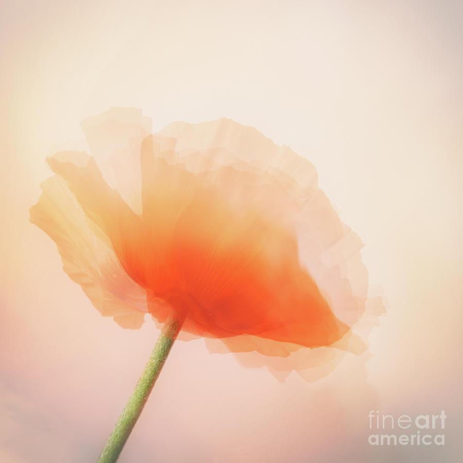 Poppy by Janet Burdon