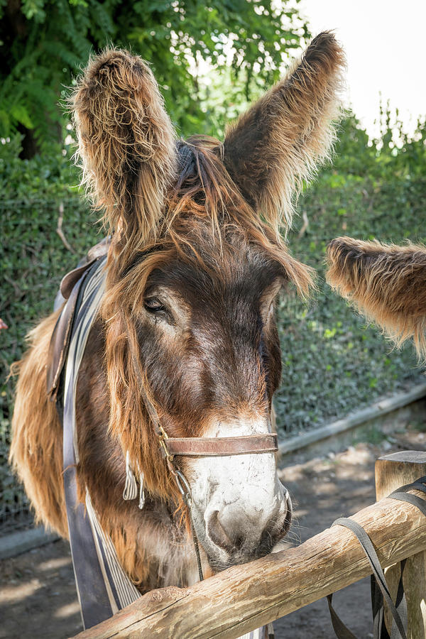 Portrait Of A Donkey With Long Hair Photograph By Stefan Rotter