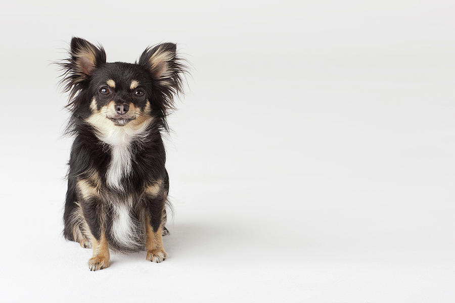 Portrait Of Chihuahua Photograph by Compassionate Eye Foundation/david Leahy