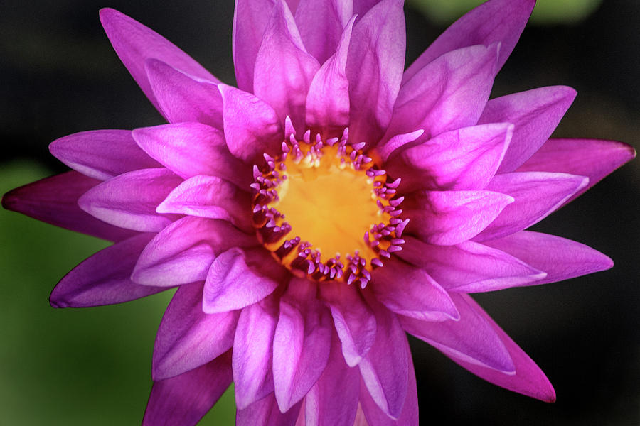Purple Water Lily by Don Johnson
