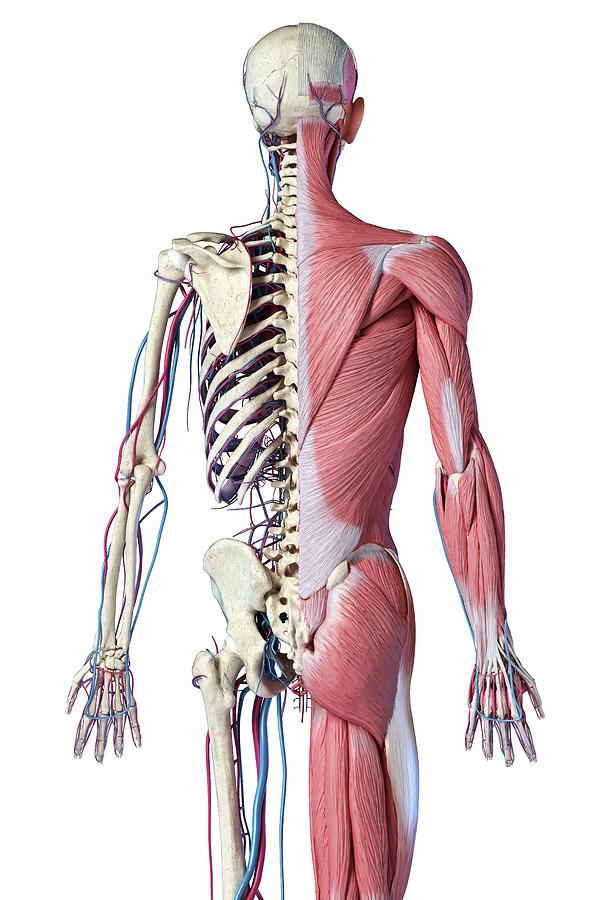 Rear View Of Upper Body Skeleton by Pixelchaos