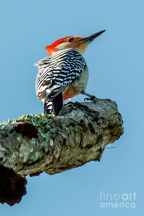 Red-Bellied Woodpecker by Michael D Miller