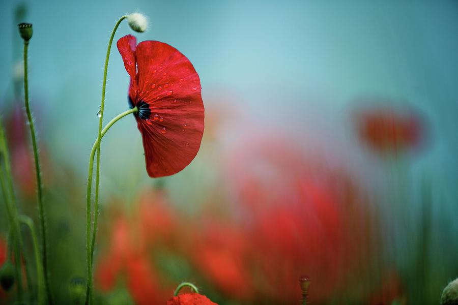 Red Corn Poppy Flowers Photograph