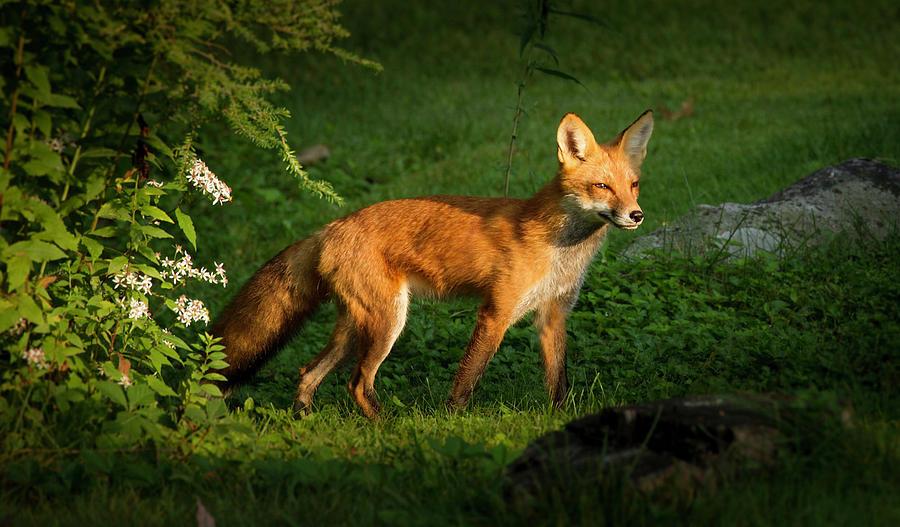 Red Fox Portrait by Brian Caldwell